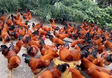 Panyao Lingzhi Chicken